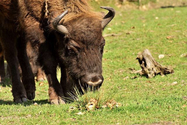 Bison, Wildpark Poing, Wild Animal, Animal World