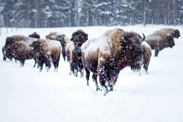 Buffalo, Winter, Snow, Bison-buffalo, Animal World