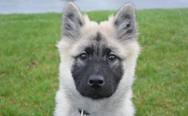 Dog, Pup, Eurasier, Bitch Nova, Canine, Female Eurasier