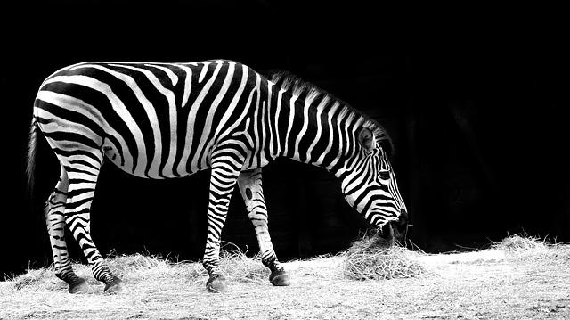 Zebra, Animal, Black And White, Zoo, Nature, Striped