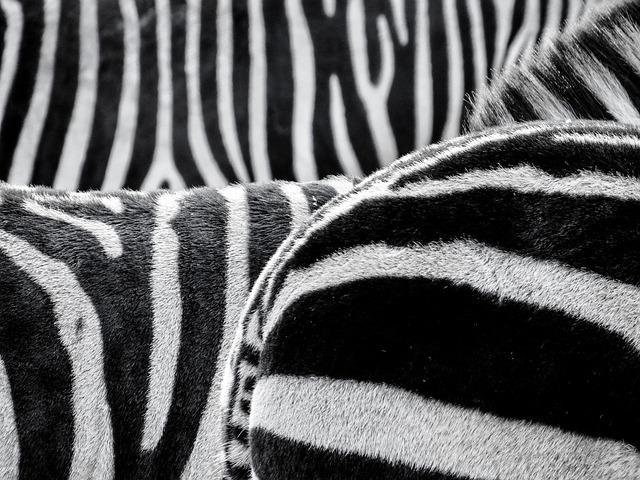 Zebra, Zebra Crossing, Animals, Black And White