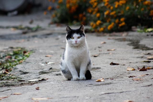 Cat, White, Black, Fluffy Cat, Black And White