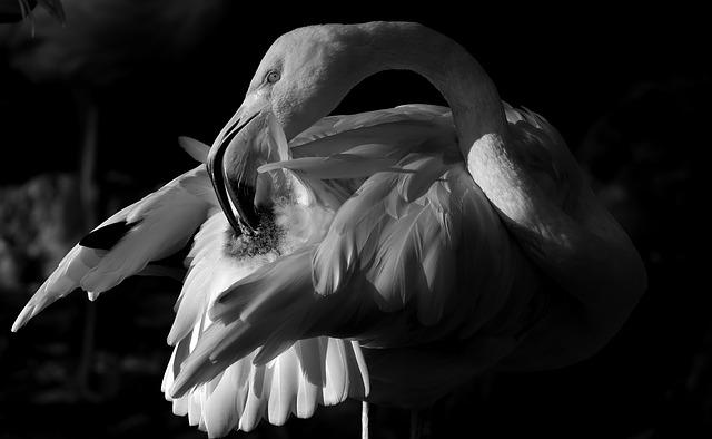 Flamingo, Bird, Black And White, Plumage, Feather