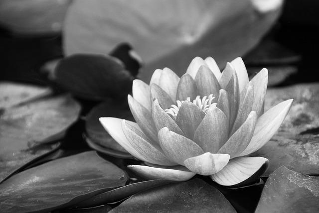 Water Lily, Black And White, Pond, Lotus, Flower