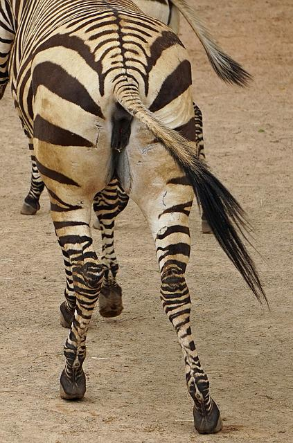 Zebra, Rump, Black And White, Mammal, Plains Zebra