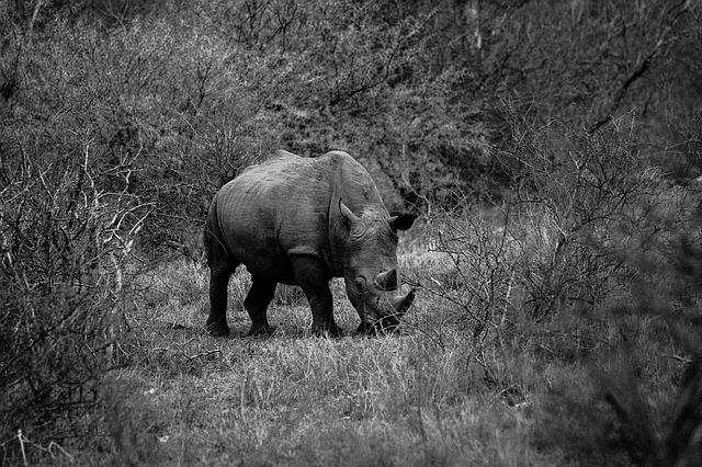 Rhinoceros, Nature, Wildlife, Mammal, Black And White