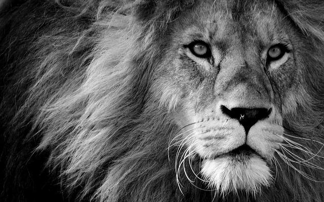 Lion, Predator, Black And White, Dangerous, Mane