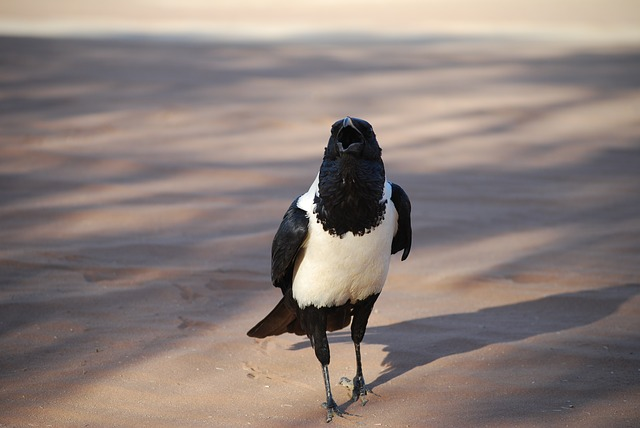 Crow, Bird, Africa, Namibia, Black And White, Ranting