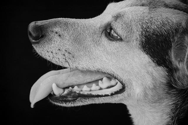 Dog, Hybrid, Black And White, Male, Portrait, Attention