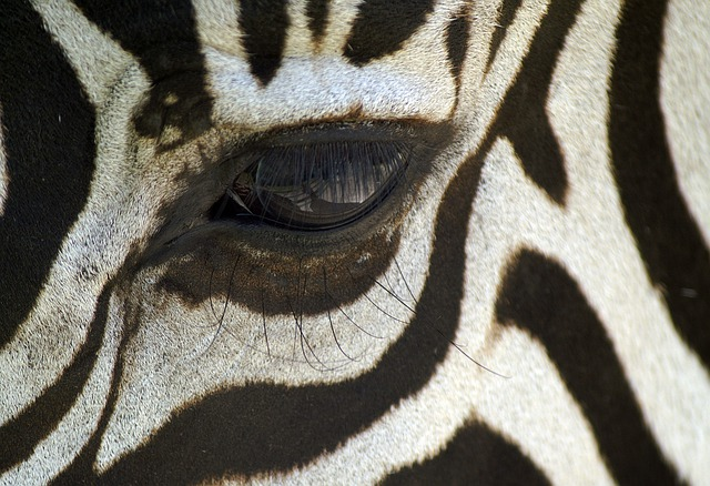 Zebra, Eye, Eyelashes, Macro, Black And White
