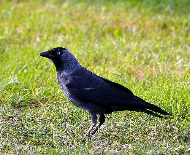 Jackdaw, Bird, Black, Animals, Raven Bird, Nature, Home