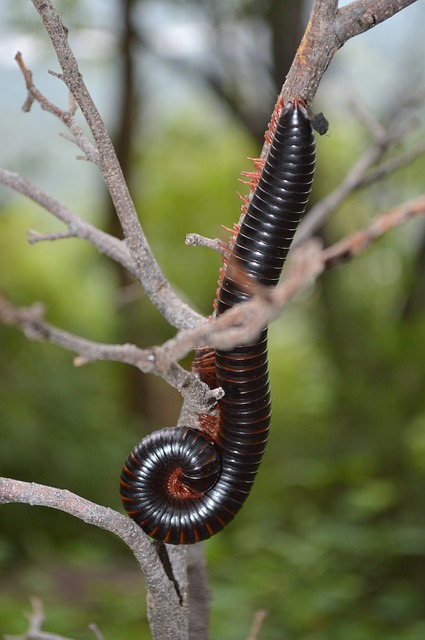 Worm, Red Worm, Pest, Asia, Bug, Insect, Exotic, Black