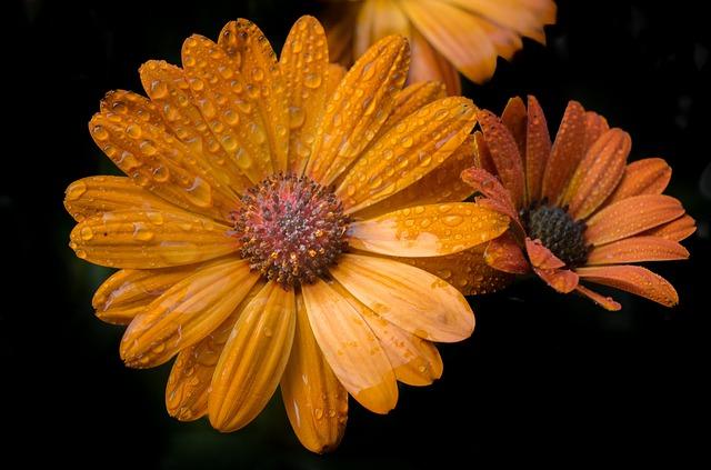 Orange, Flower, Isolated, Backdrop, Black, Wet