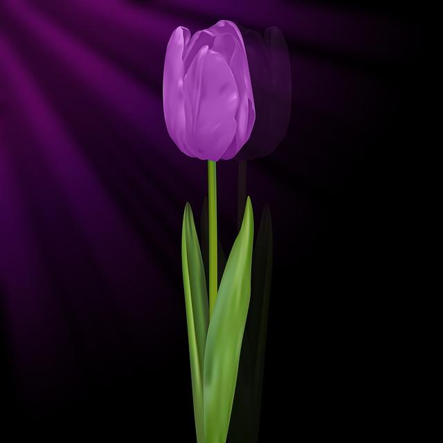 Tulip, Tulipan Violet, Black Background, Flowers