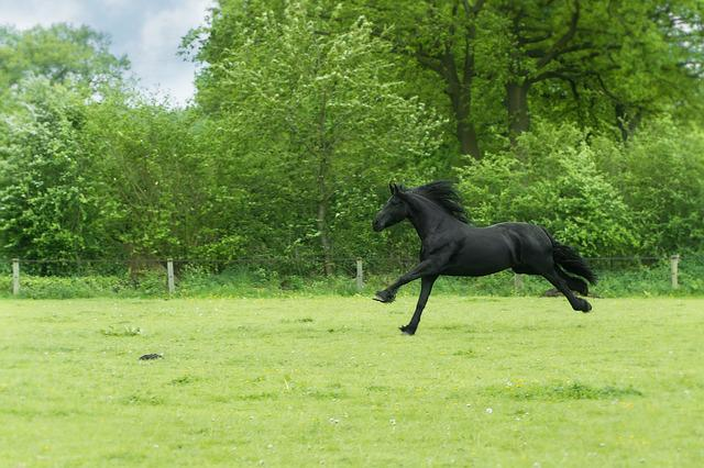 Animal, Black Beauty, Free, Gallop, Horse, Meadow