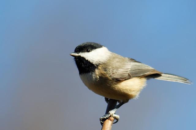 Chickadee, Bird, Birding, Black, White, Songbird, Small