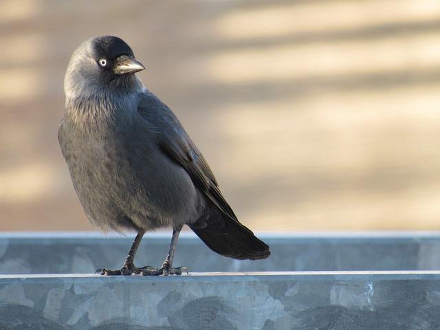 Jackdaw, Corvidae, Corvus Monedula, Black Bird