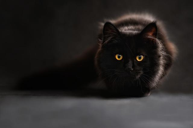 Maine Coon, Cat, Cat's Eyes, Black Cat, Animal Portrait