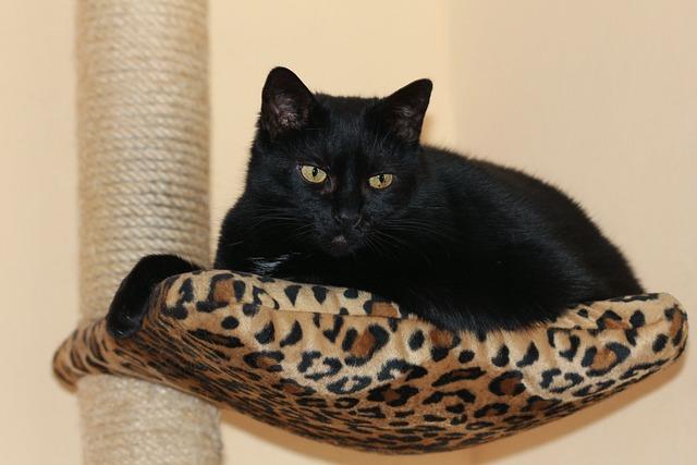 Black Cat, European Shorthair, Ekh, Cute, Beautiful