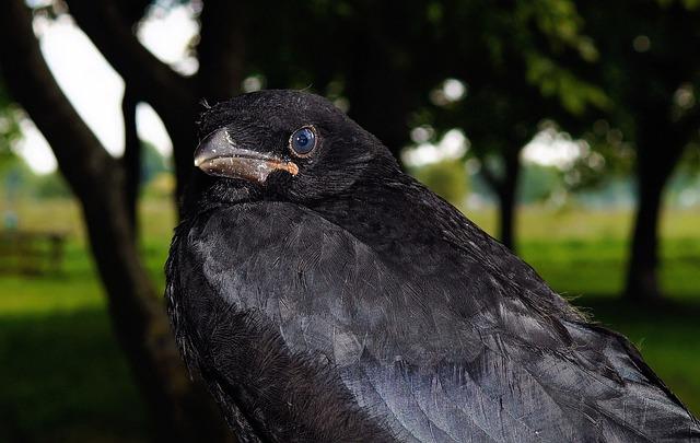 Crow, Raven, Bird, Raven Bird, Black, Corvus, Close