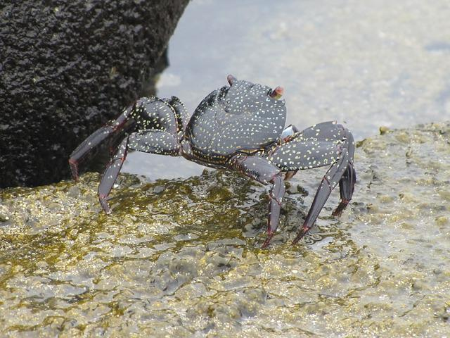 Black Crab, Galapagos, Cancer