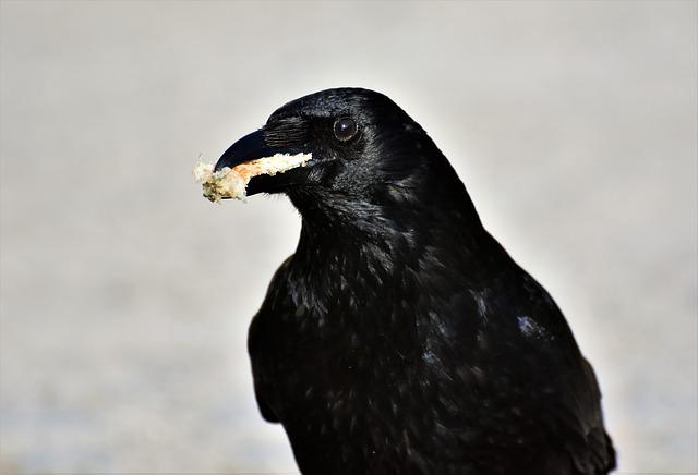 Crow, Raven, Raven Bird, Black, Bill, Bird, Feather