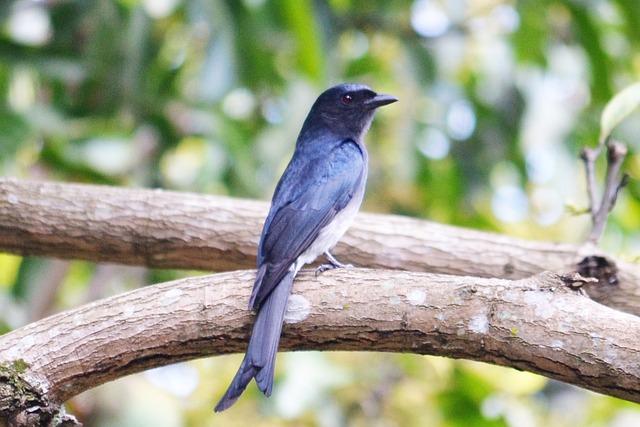 Black Drongo, Black, Black Bird, Black Sparrow