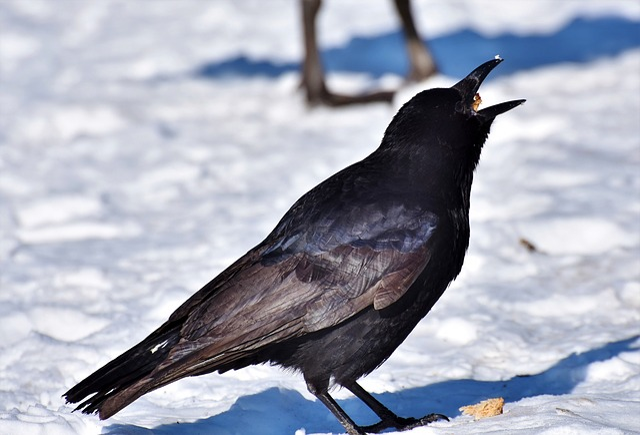 Raven, Crow, Raven Bird, Bird, Feather, Black, Bill