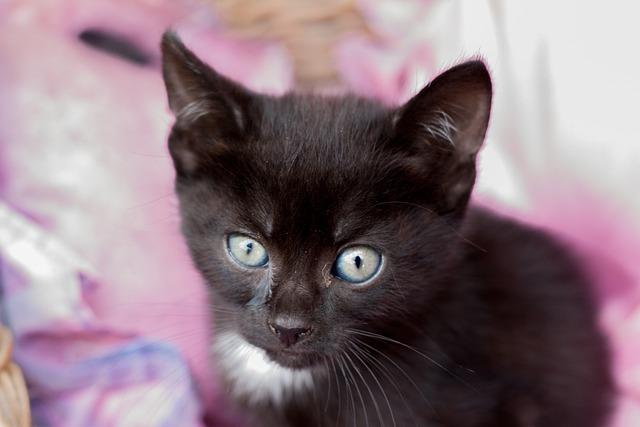 Kitten, Black, Feline, Hair, Domestic Animal, Cute