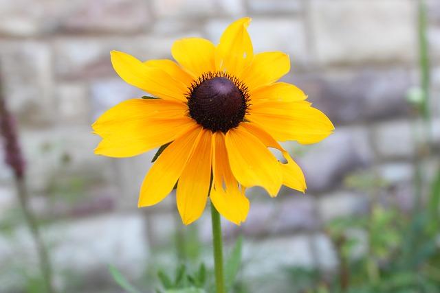 Black, Eyed, Susan, Yellow, Brown, Petals, Flower