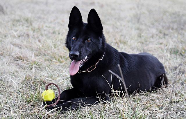 Black German Shepherd, Dog, Ball, Game