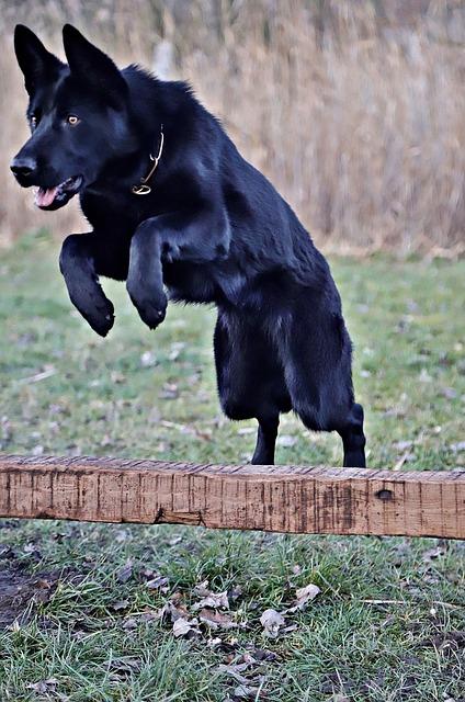 Black German Shepherd, Beauty, Jump, Dog