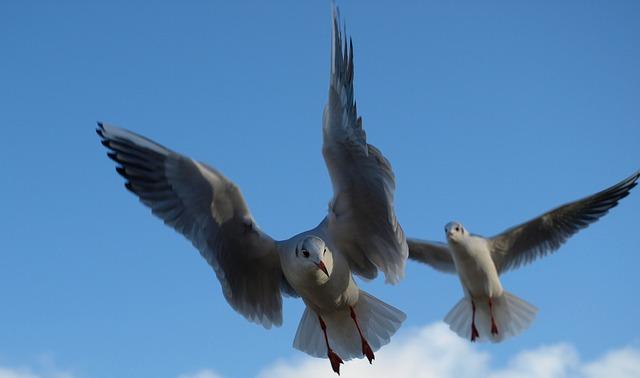 Seagull, Black Headed Gull, Water Bird, Bird, Animal