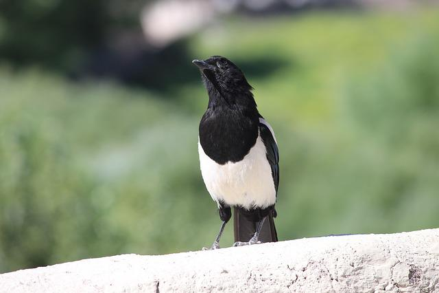 Bird, Leh, White, Black, Crow, Kashmir, Landscape