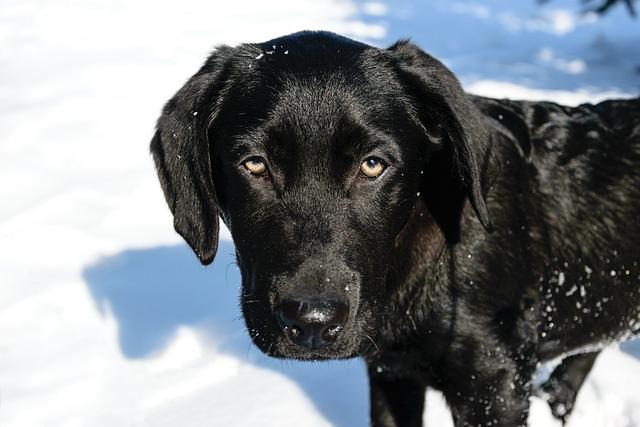 Small Labrador, Dog House, Animals, Mammals, Black