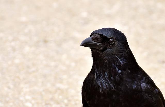 Crow, Raven, Bird, Black, Raven Bird, Feather, Animal