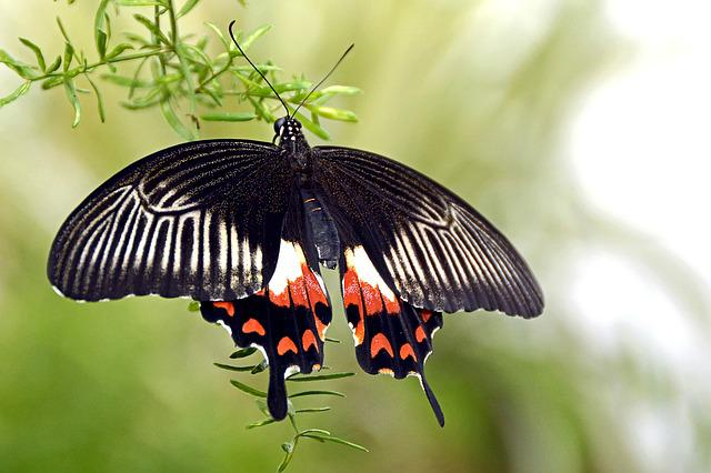 Butterfly, Insect, Wing, Fly, Animal, Black, White, Red