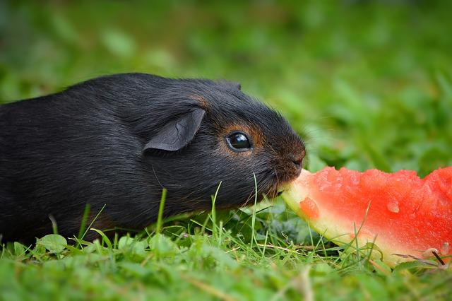 Guinea Pig, Young Animal, Black Tan, Black Red Loh