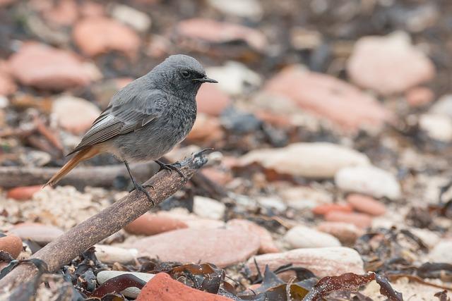 Black Redstart, Songbird, Bird, Migratory Bird