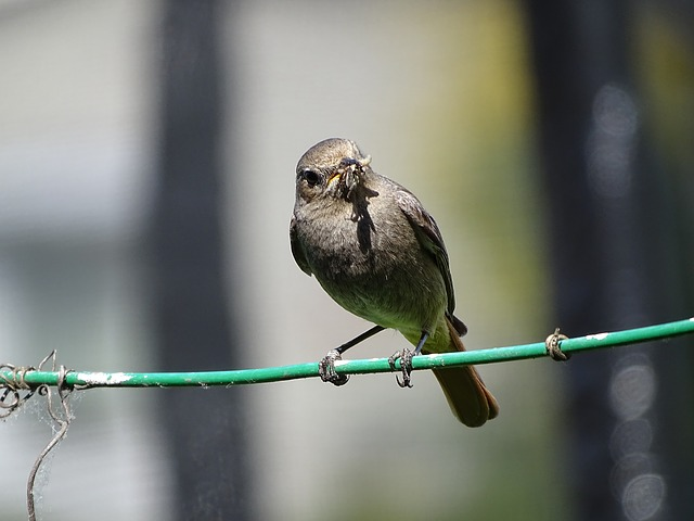 Rotschwaenzchen, Black Redstart, Bird, Sperling