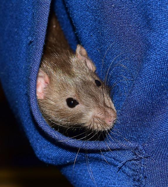 Rat, Color Rat, Black, Rodent, Animal, Mammal, Ears