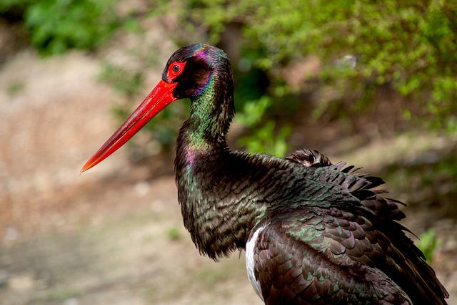 Stork, Black Stork, Animal World, Ciconia Nigra, Animal