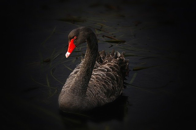 Black Swan, Lake Pupuke, Cygnus Atratus