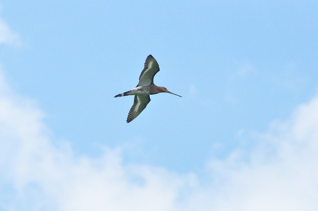 Black Tailed Godwit, Bird, Sky, Wings