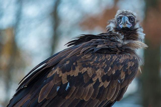 Black Vulture, Vulture, Scavengers, Raptor, Wild Animal