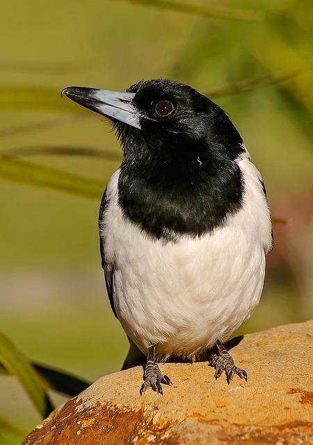 Pied Butcherbird, Butcherbird, Bird, Black, White, Wild