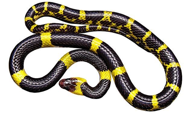Snake, Black Yellow, Non Toxic, Isolated