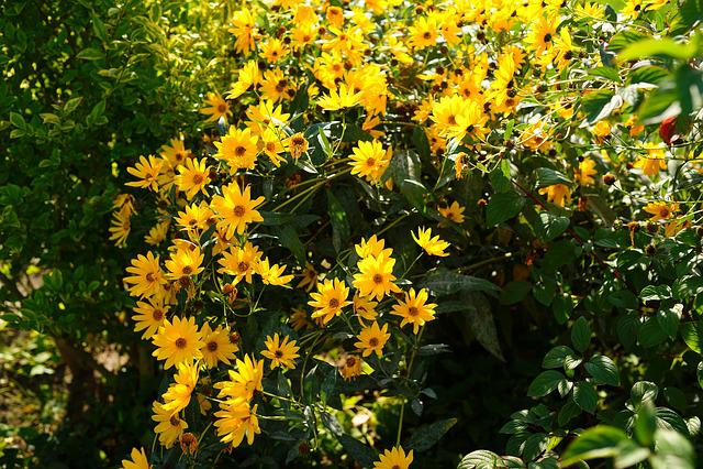 Flowers, Yellow, Rough Coneflower, Black-eyed Rudbeckie