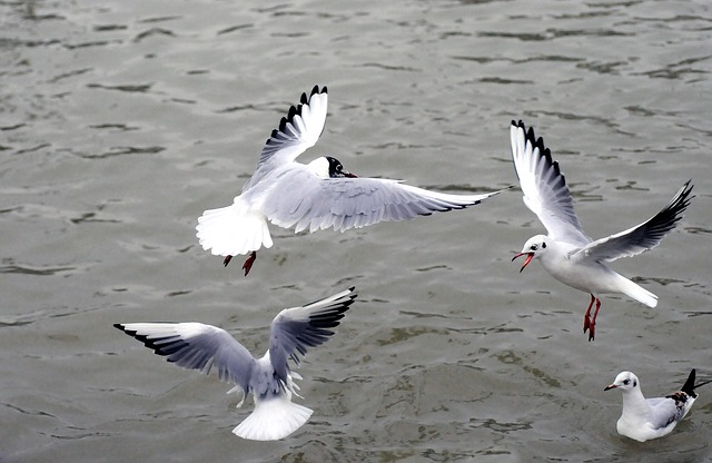 Silver Gull, Black-headed Gull, Sea, Birds, Bird Flight