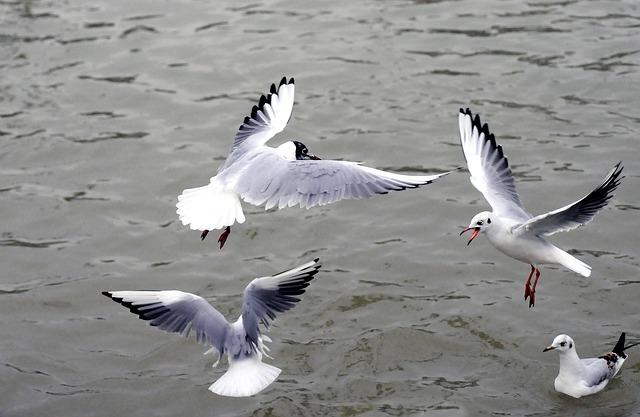 Silver Gull, Black-headed Gull, Sea, Birds, Bird Flight